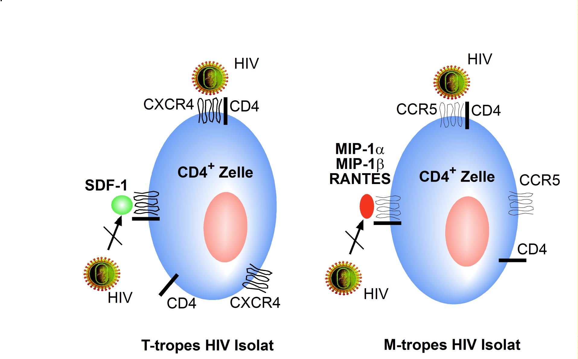 the effects of hiv mutations on the immune system We'll use hiv as an example since it has mastered the art of rapid mutation and  used this strategy not only to evade the human immune system, but to attack it.